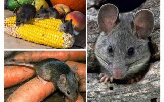 Cara menangani tikus di negara dan tapak