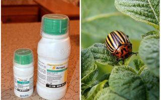 Bermaksud Aktar dari kumbang kentang Colorado