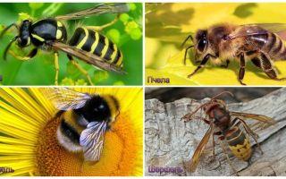 Apakah perbezaan antara tawon, lebah, bumblebee, hornet