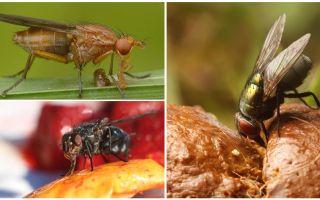 Apa lalat makan