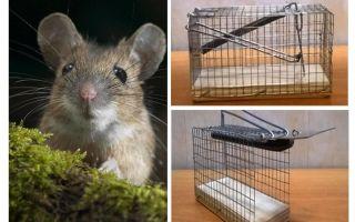 Sangkar tikus