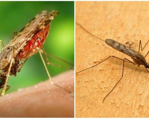 Apa nyamuk malaria yang kelihatan dan betapa berbahaya bagi manusia