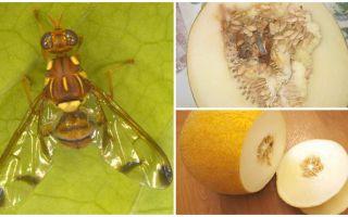 Penerangan mengenai fly melon dan cara berurusan dengannya