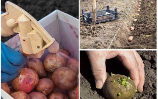 Daripada sebelum menanam proses kentang dari kumbang kentang Colorado dan wireworm