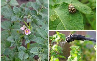 Adakah mungkin untuk memproses kentang dari kumbang Colorado semasa berbunga
