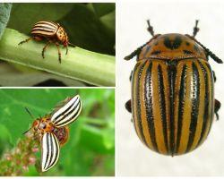 Apa yang kelihatan seperti kumbang Colorado? Foto dan gaya hidup