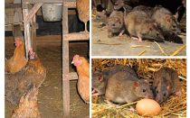 Bagaimana untuk menangani tikus di rumah ayam