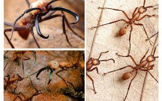 Semut paling berbahaya di dunia
