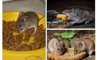 Apakah umpan untuk dimasukkan ke dalam perangkap tikus