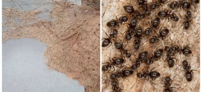 Bagaimana untuk menghilangkan semut di kubur