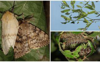 Penerangan dan foto ulat ulat Gothic Moth