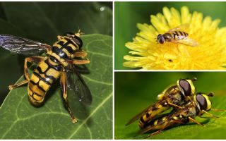 Wasp terbang seperti tawon