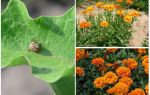Bagaimana untuk melindungi dan melindungi terung dari kumbang kentang Colorado