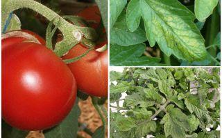 Aphids pada tomato - apa yang perlu diproses dan bagaimana untuk melawan