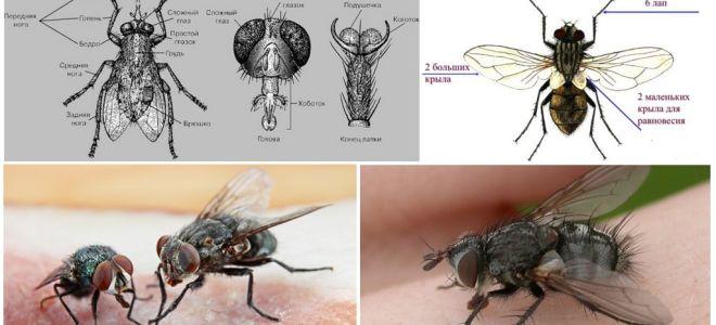 Struktur lalat