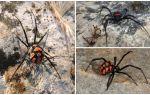 Penerangan dan gambar labah-labah Kazakhstan
