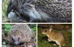 Hedgehogs makan tikus