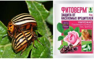 Bagaimana untuk membiakkan Phytoverm dari kumbang kentang Colorado
