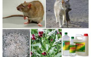 Bagaimana untuk membuang tikus dari remedi rakyat kandang