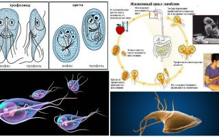 Siklus hidup Giardia dan rawatan sista