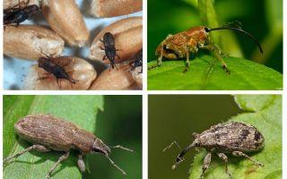 Beetle weevil dan larvanya