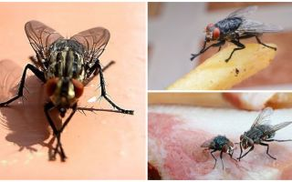 Mengapa lalat menggosok kaki mereka