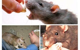 Apa yang harus dilakukan jika sedikit tikus