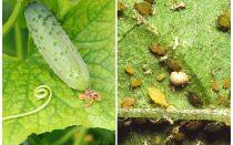Apa dan bagaimana untuk menangani aphids pada timun di rumah hijau dan padang terbuka