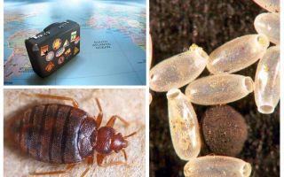 Mengapa bedbugs dipenuhi di dalam apartmen atau rumah