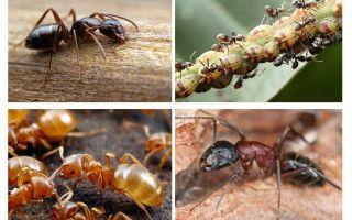 Semut taman membahayakan dan memberi manfaat
