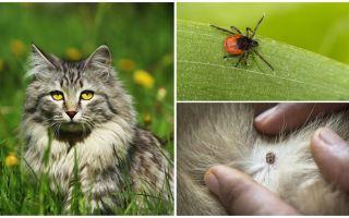Apa yang perlu dilakukan dan bagaimana untuk merawat tikam dalam kucing atau kucing
