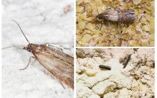 Kenapa dan apa yang harus dilakukan, jika tahi lalat dimulakan dalam bijirin