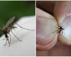 Cara membiak dan berapa nyamuk hidup