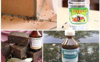 Pertempuran semut di rumah atau apartmen