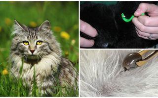 Bagaimana untuk mengeluarkan tanda kutip dari kucing atau kucing