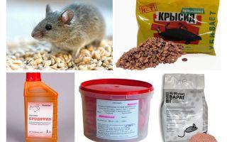 Cara terbaik tikus