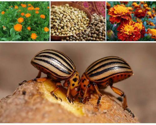 Pemulihan rakyat untuk kumbang kentang Colorado pada kentang