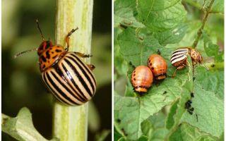 Bagaimana dan kapan kumbang kentang Colorado muncul di Rusia?
