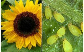 Bagaimana untuk menangani aphids pada bunga matahari