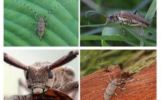 Kumbang kumbang kelabu tahan lama