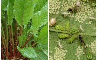 Bagaimana untuk menghilangkan aphids pada karkas