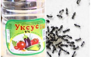 Cuka terhadap semut di taman