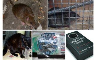 Kawalan tikus