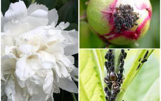 Bagaimana untuk menghilangkan aphids pada peonies