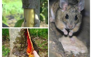 Bagaimana untuk menyelamatkan pokok epal, jika tikus ditangkap tikus