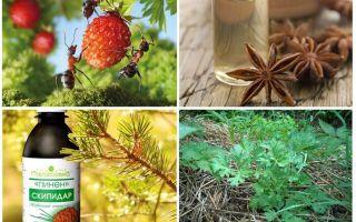 Bagaimana untuk menangani semut dalam strawberi