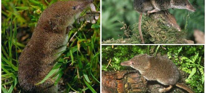 Bagaimana untuk menghilangkan shrews di kawasan itu, cara yang paling berkesan