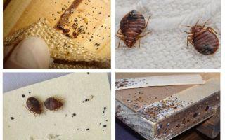 Apa yang kelihatan seperti perabot bug dan bagaimana untuk menghilangkannya