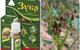 Poison Bison dari kumbang kentang Colorado