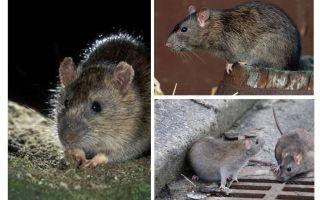 Tikus kelabu